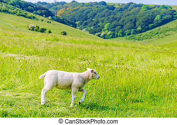 Lamb walking alone