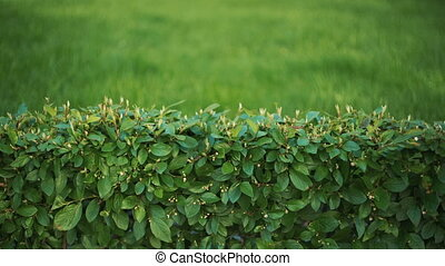 Background- Wall of green plants - The green background....