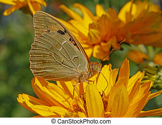 butterfly on yellow flower - close up of Cardinal butterfly...