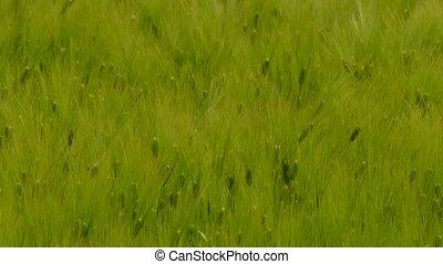 Green Wheat Ears Swaying On Wind
