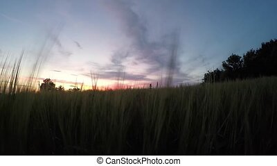 Ripening spikelets of wheat field at sunset with sun rays