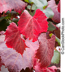 Closeup of autumn grape vine leaves with lovely red colours