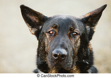 German Shepherd Dog Close Up Portrait Alsatian Wolf Dog...