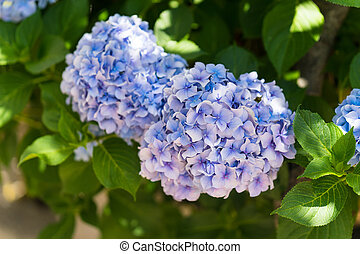 blue hydrangea flower low DOF for your design