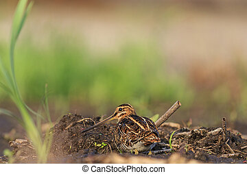 snipe masked coast of peat - snipe masked among peat shore...