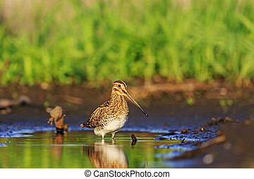 snipe and little green puddle morning sun, a rare bird