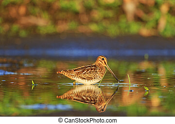 snipe and reflection in water - snipe and reflection in the...