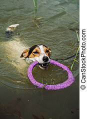 dog swims in the lake with the ring