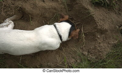 the dog sniffs the ground and digs a pit in the sand - small...