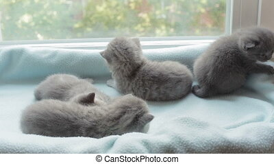 Blotched tabby kittens breed Scottish Fold. - Funny Blotched...