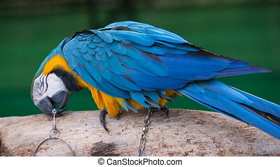 colour parrot seats on the branch on the chain