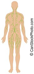 Lymphatic diagram in human being illustration