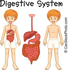 Digestive system in human boy illustration