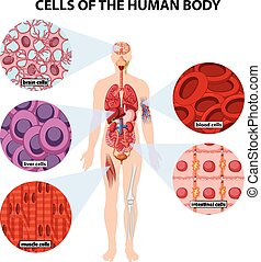 Cells of the human body illustration