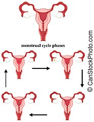 Menstrual cycle phases in human illustration