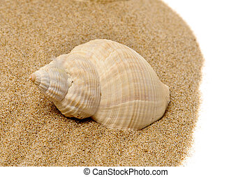 conch - a conch on the sand on a white background
