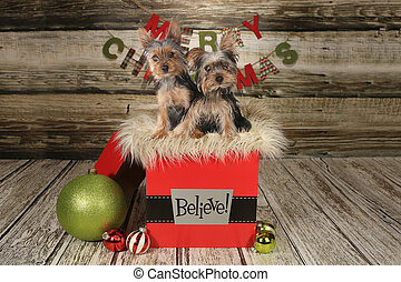 Puppies on a Christmas Themed Background - Yorkie Puppies on...