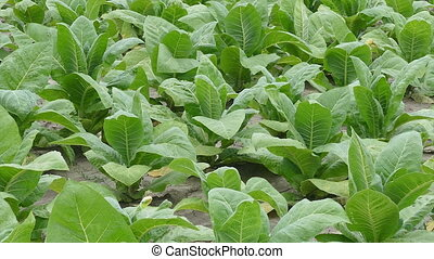 Tobacco plant in field - Tobacco plant field in early...