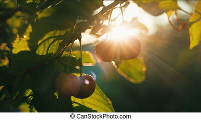 Woman plucks cherries - Woman picking cherries at sunset