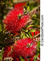 Red Bottlebrush - Bottlebrush (Callistemon) is a genus of 34...