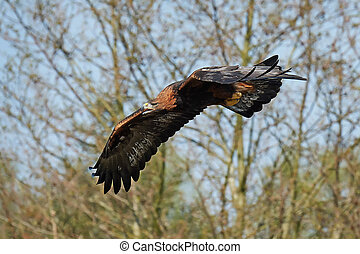 Golden eagle (Aquila chrysaetos) - Golden eagle in flight...