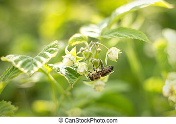 bee pollinating white flowers in the forest