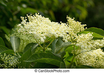 elderberry - white inflorescence elderberry (Sambucus nigra)