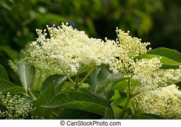 elderberry - white inflorescence elderberry (Sambucus nigra)