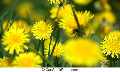 Yellow dandelions in green grass 4K dolly close up shot