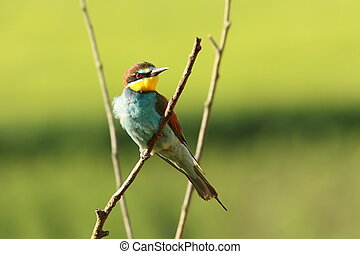 beautiful european bee eater perched on branch ( Merops...