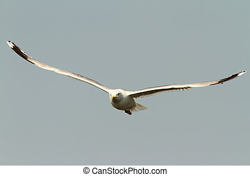 caspian gull in flight - Larus cachinnans - caspian gull in...