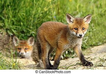 curious fox cub near the burrow Vulpes vulpes