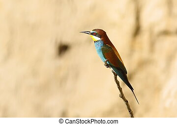 european bee-eater perched on twig ( Merops apiaster )