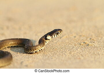 grass snake on sandy beach ( Natrix natrix )