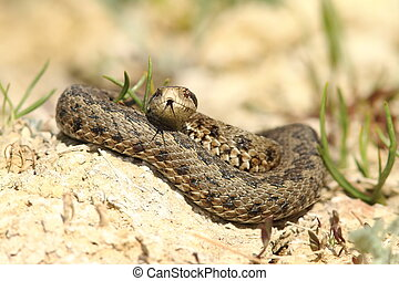 male viper emerged from hibernation - Vipera ursinii...