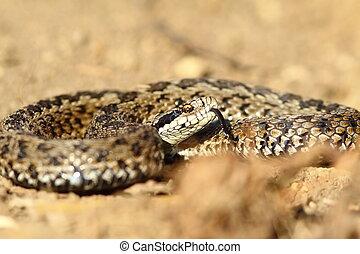 meadow viper ready to strike