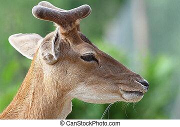 portrait of young deer buck - portrait of young fallow deer...