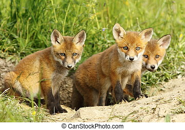 red fox family - european red fox family, cute cubs near the...
