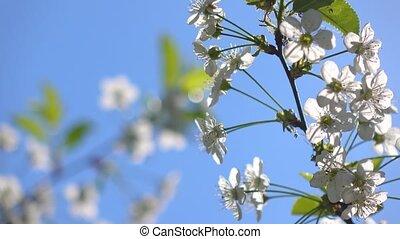 Cherry blossom against blue sunny sky 4K close up video clip