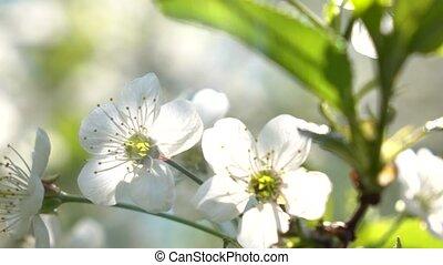 Cherry blossom against blue sunny sky 4K close up shot clip