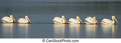 White pelicans in a water