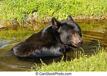 American black bear (Ursus americanus) - Portrait of...
