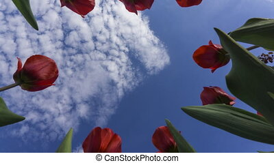 Red tulips against beautiful cloudy sky 4K time lapse, view from below