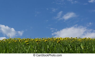 Yellow dandelions in green grass against sunny sky 4K time...