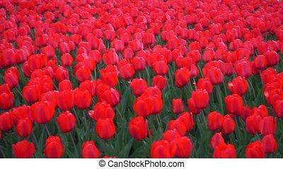 Blooming red tulips pan shot