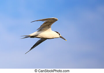 Sandwich Tern flying above Paracas Bay, Peru - Sandwich Tern...