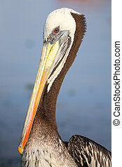 Portrait of Brown Pelican in Paracas Bay, Peru - Portrait of...