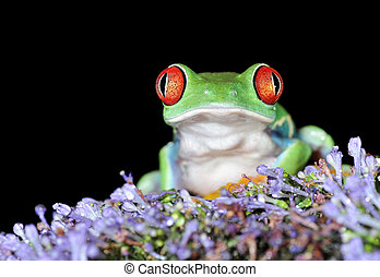 red eyed tree frog - one of the most beautiful creatures on...