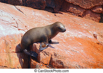 Young South American sea lion in Ballestas islands Reserve...