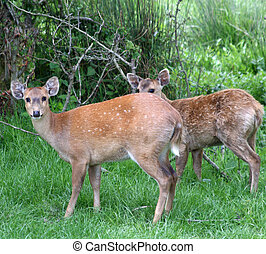 Hog Deer  - Hog deer animals